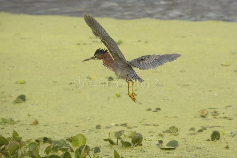 飞行在沼泽植被的小的绿色苍鹭在佛罗里达 免版税库存图片