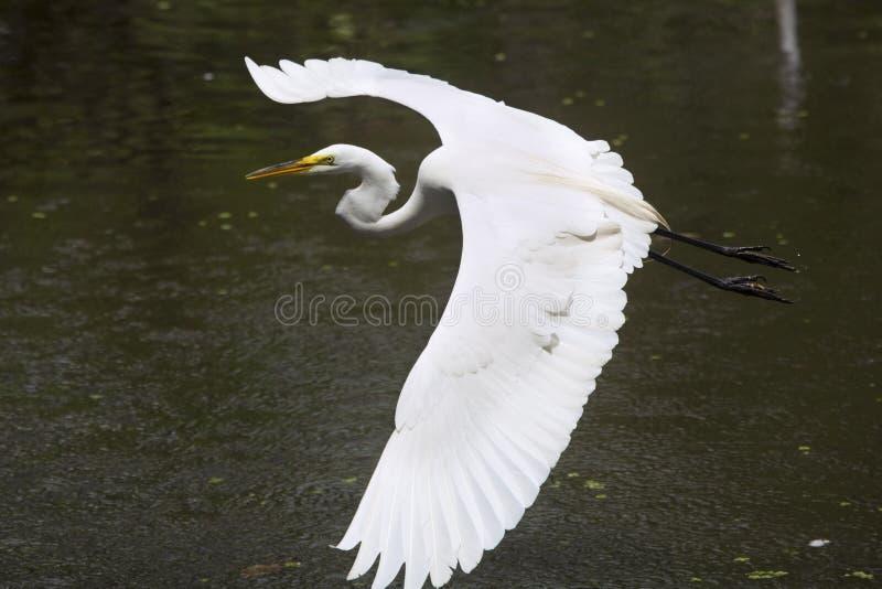 飞行在沼泽的伟大的白鹭在佛罗里达沼泽地 免版税库存图片