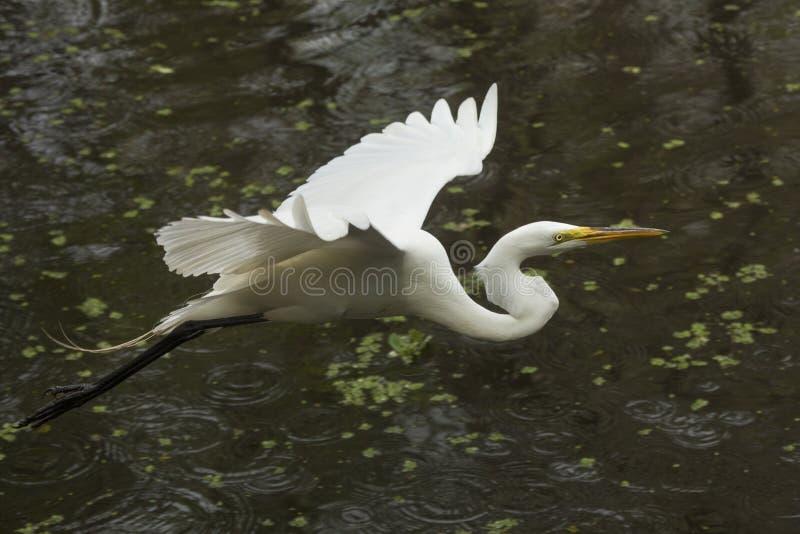 飞行在沼泽的伟大的白鹭在佛罗里达沼泽地 库存图片
