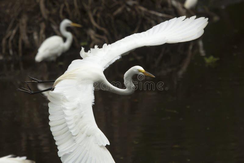 飞行在沼泽的伟大的白鹭在佛罗里达沼泽地 库存照片