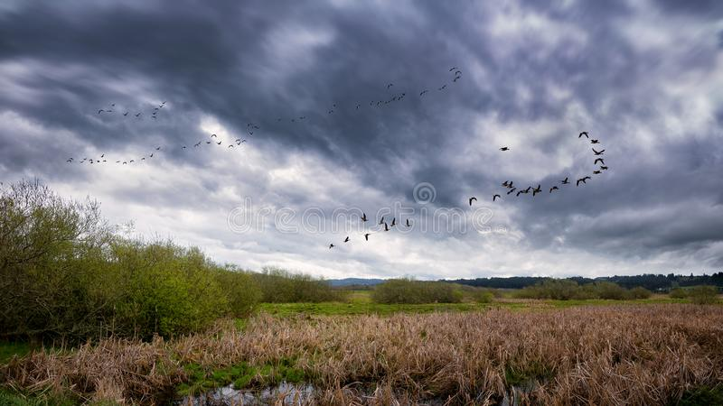 飞行在沼泽附近的鸟群  图库摄影