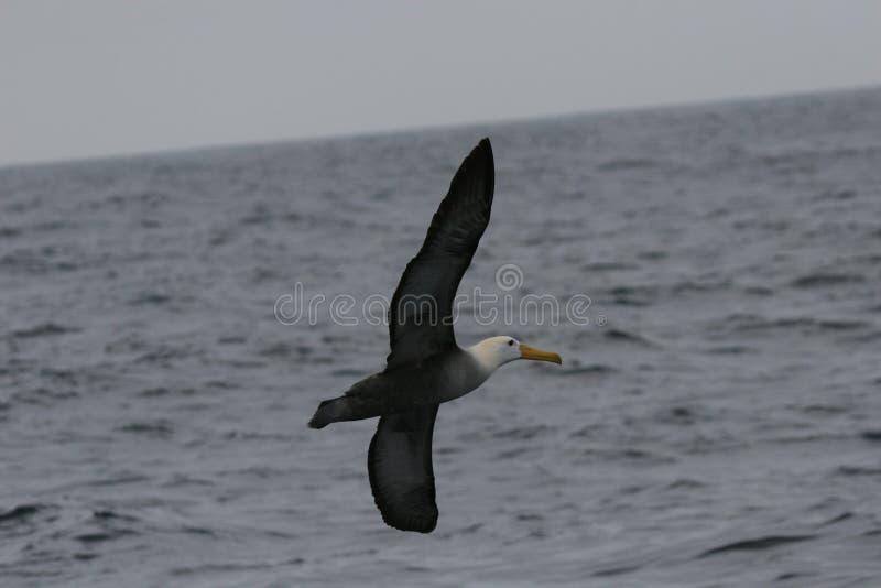 飞行在海洋表面的挥动的信天翁 库存图片