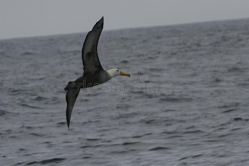 飞行在海洋表面的挥动的信天翁 免版税库存图片