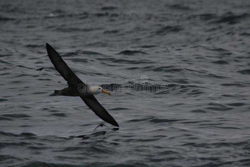 飞行在海洋表面的挥动的信天翁 免版税库存照片