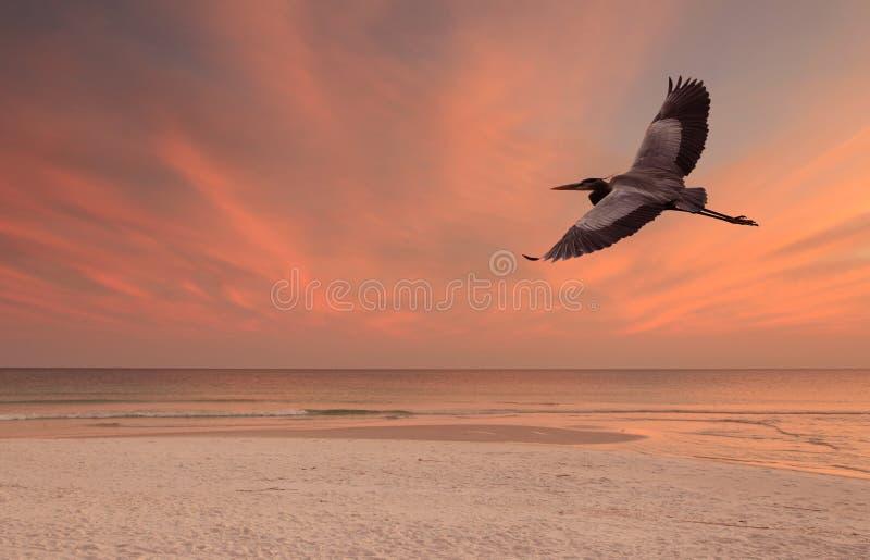 飞行在海滩的伟大蓝色的苍鹭的巢在日落 免版税库存照片