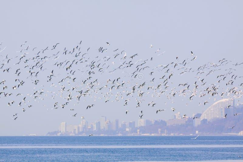 飞行在海的索契黑海海鸥 免版税图库摄影