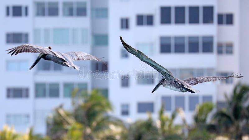 飞行在海的鹈鹕夫妇在迈阿密,钓鱼在岸在海浪岸,当寻找食物时 免版税库存图片