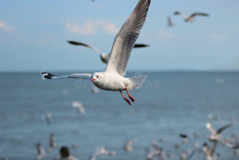 飞行在海科学的蓝天的海鸥群命名是白0类鸥科 选择聚焦和浅深度o 免版税图库摄影