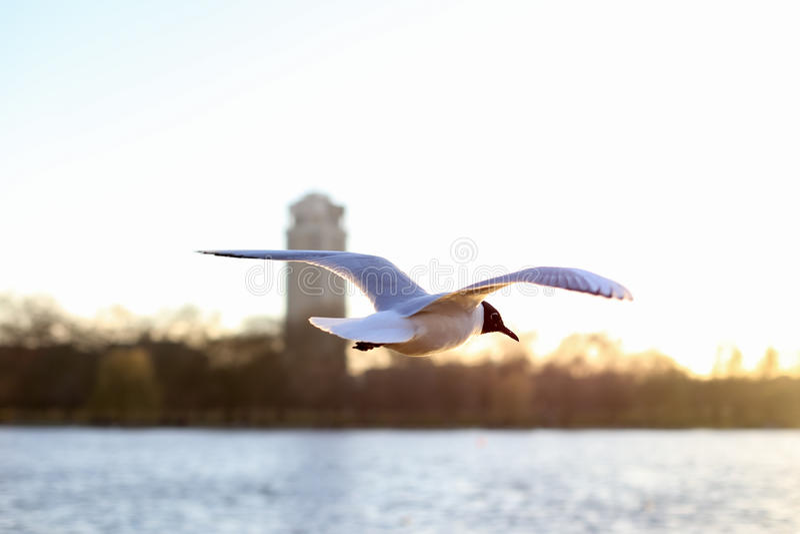 飞行在海鸥水 库存照片