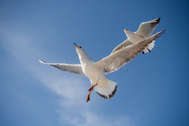 飞行在海水的天空的海鸥 免版税库存照片