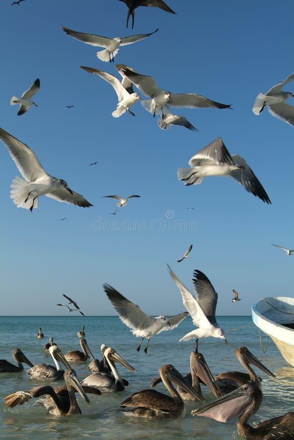 飞行在渔夫的小船的鸟在Holbox海岛 库存照片