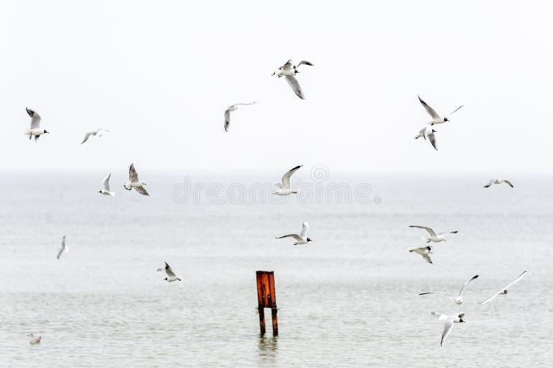 飞行在港口海湾的海鸥群  免版税库存图片