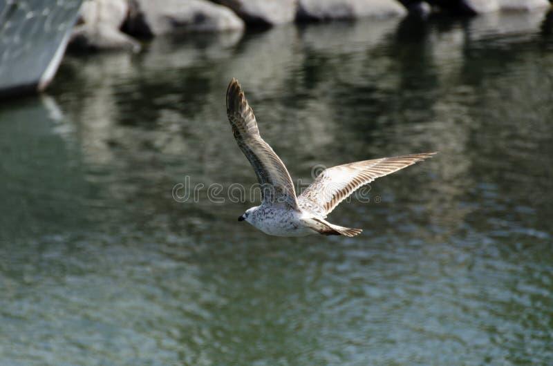 飞行在港口的海鸥 免版税库存图片