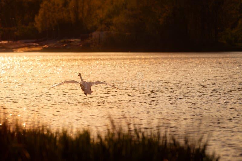 飞行在湖的天鹅在日落 库存图片