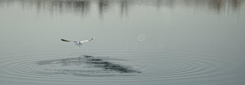 飞行在湖, Corbeanca,伊尔福夫县,罗马尼亚的海鸥 免版税库存图片