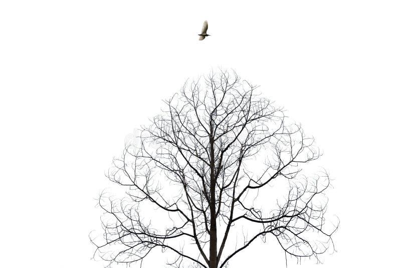 飞行在白色背景的贫瘠树孤立的鸟 免版税图库摄影