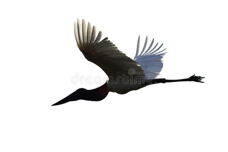 飞行在白色背景隔绝的Jabiru鹳 图库摄影