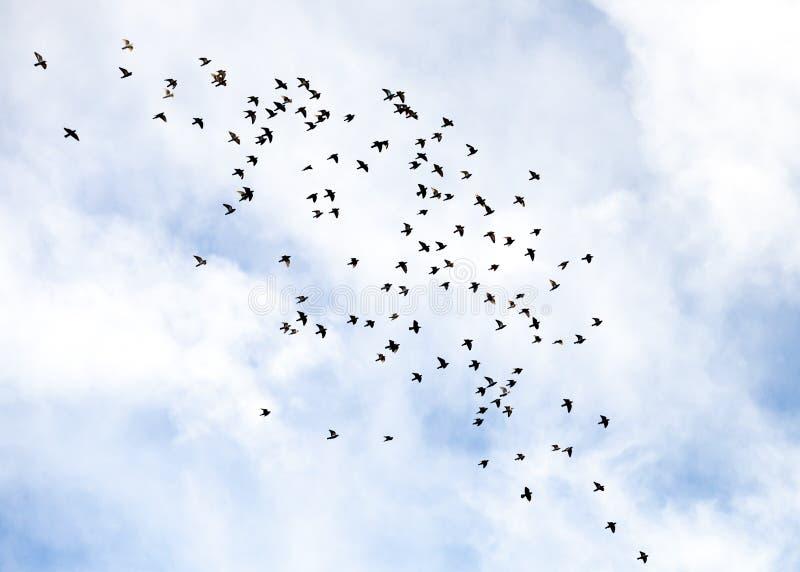 飞行在积云Fractus云彩前面的鸽子群  图库摄影