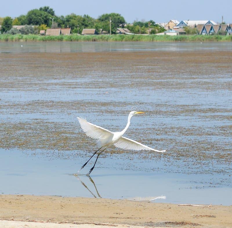飞行在美丽的池塘附近的白色起重机鸟 水禽和自然背景 库存图片
