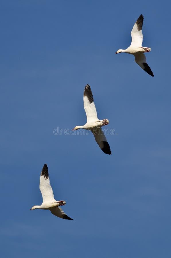 飞行在蓝天的三只雪雁 图库摄影