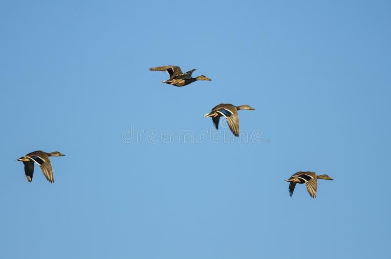 飞行在蓝天的四只野鸭鸭子 库存照片