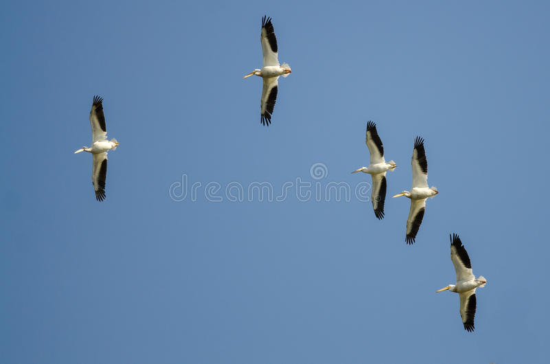 飞行在蓝天的美国白色鹈鹕群  库存图片