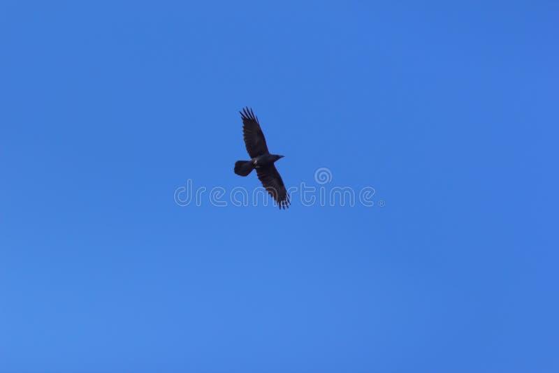 飞行在蓝天的鸟 库存照片