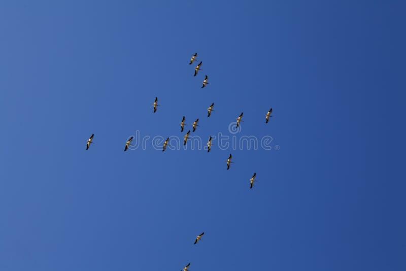 飞行在蓝天的鹈鹕群  免版税图库摄影