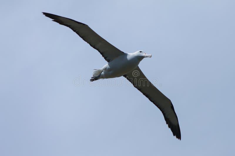 飞行在达尼丁海岸的皇家信天翁 库存图片