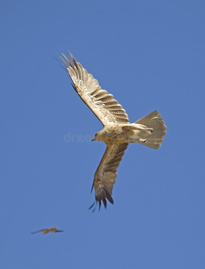 飞行在阿德莱德河,达尔文,澳大利亚的鹰 免版税库存图片