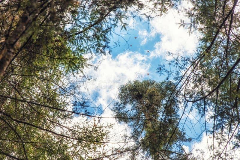 飞行在黑脉金斑蝶圣所的黑脉金斑蝶关于 库存照片