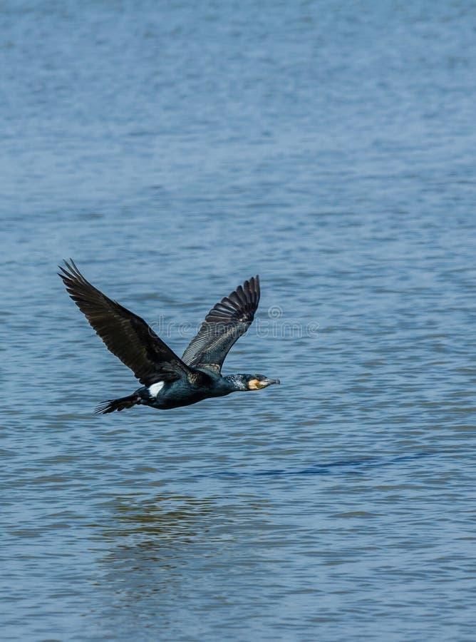 飞行在水的鸬鹚 免版税图库摄影