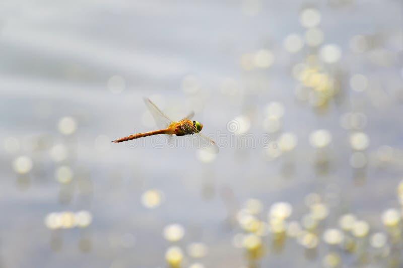 飞行在水的蜻蜓特写镜头 图库摄影