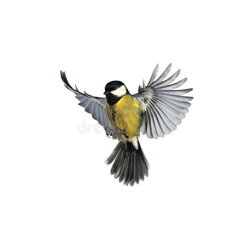 飞行宽传播翼和冲洗的一只小的鸟山雀的画象 免版税库存照片