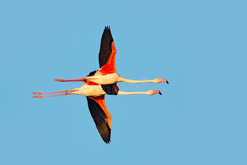 飞行对好的桃红色大鸟更加伟大的火鸟, Phoenicopterus ruber,与清楚的蓝色syk, Camargue,法国 更加伟大的火鸟, 库存照片
