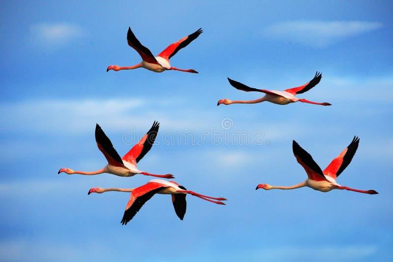 飞行对好的桃红色大鸟更加伟大的火鸟, Phoenicopterus ruber,与与云彩的清楚的蓝天, Camargue,法国 免版税库存图片