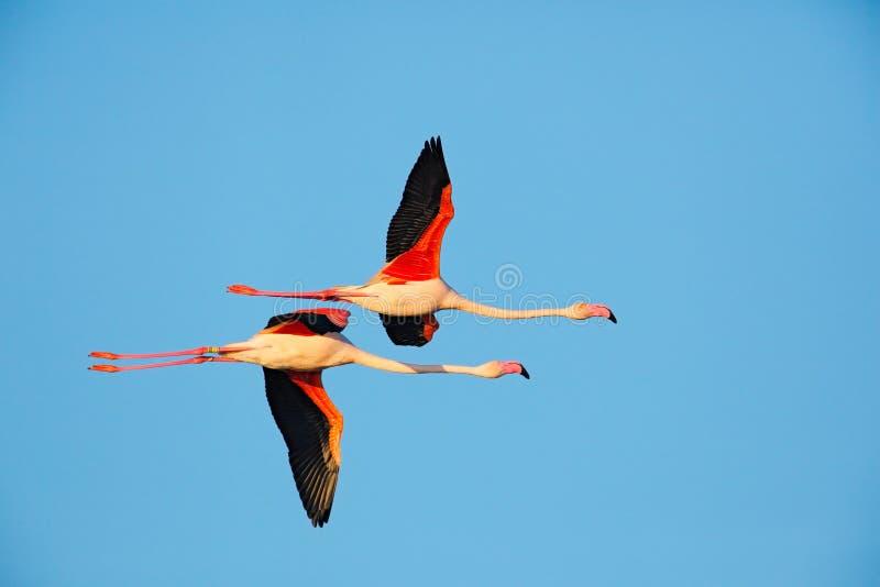 飞行对好的桃红色大鸟更加伟大的火鸟, Phoenicopterus ruber,与清楚的蓝色syk, Camargue,法国 免版税库存照片