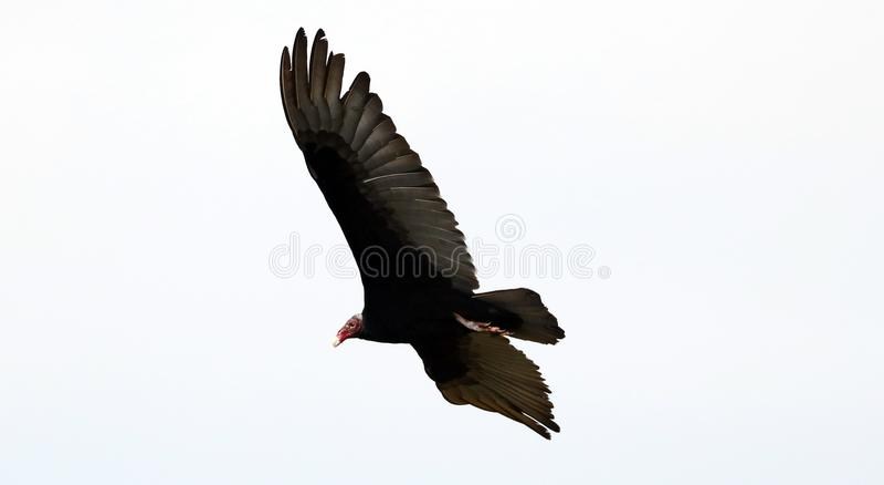飞行寻找牺牲者,净化剂的火鸡兀鹰鸟在哥斯达黎加的天空 库存照片