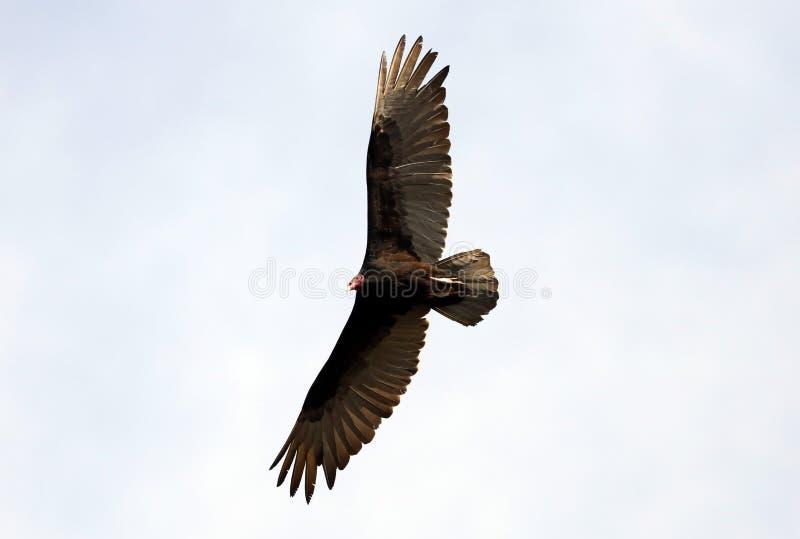 飞行寻找牺牲者,净化剂的火鸡兀鹰鸟在哥斯达黎加的天空 库存图片
