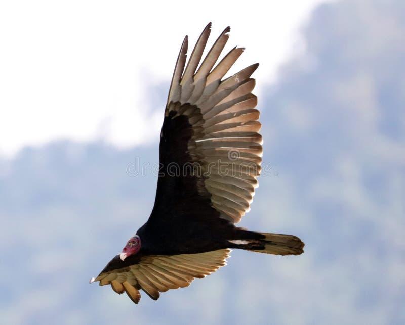 飞行寻找牺牲者,净化剂的火鸡兀鹰鸟在哥斯达黎加的天空 免版税库存照片
