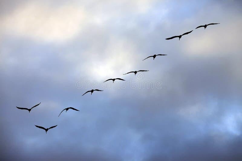飞行小组海鸥 图库摄影