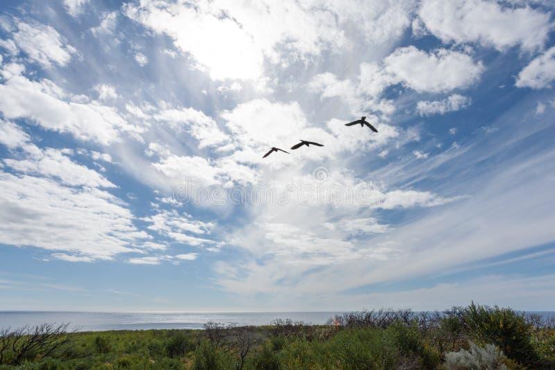 飞行往海洋的三只澳大利亚鸟,现出轮廓反对与白色云彩的一明亮的天空蔚蓝 库存照片