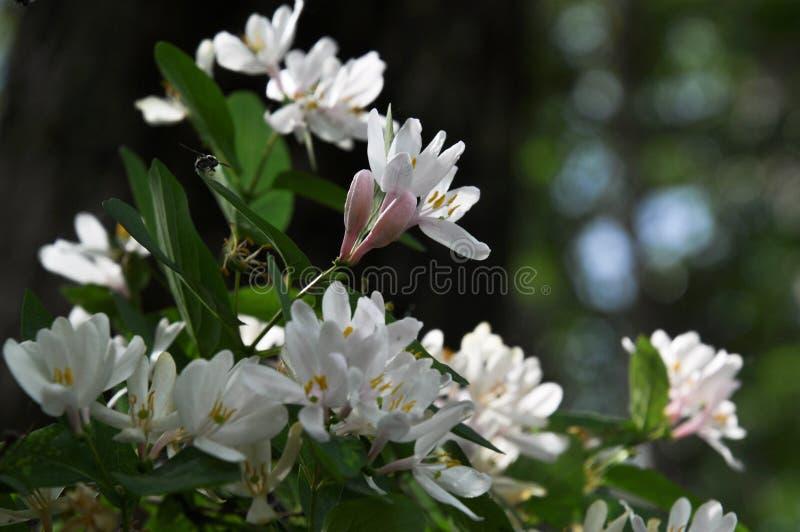飞行忍冬属植物花和芽特写镜头  图库摄影