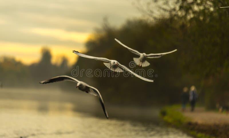 飞行早晨湖的树鸟 免版税库存照片