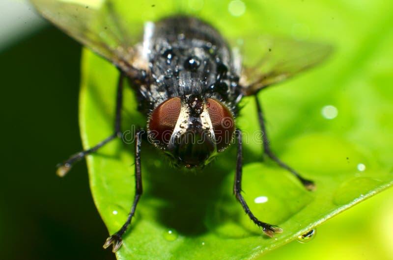 飞行是昆虫动物,一只圆的眼睛的形状被构造象褐色红色网 库存照片