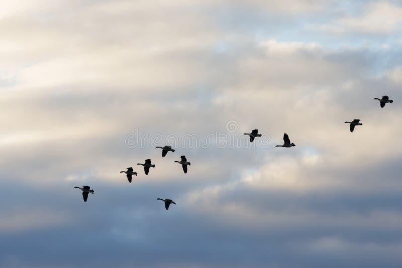 飞行横跨云彩的鹅 库存照片