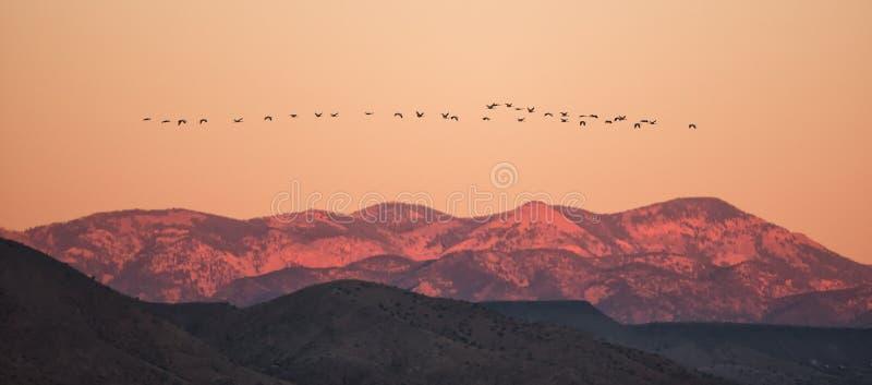 飞行横跨山的雪雁冠上在日出 库存图片