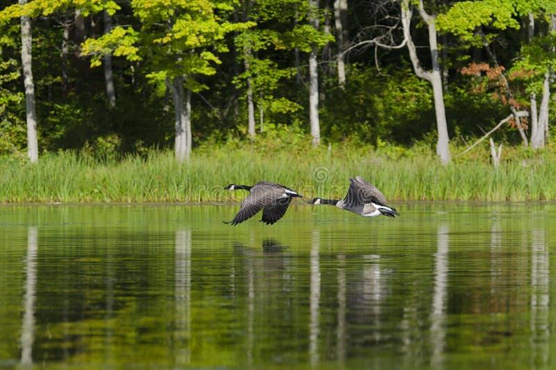 飞行在湖的二只鹅 免版税库存照片