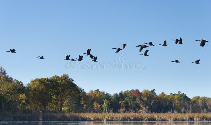 飞行横跨湖的鹅 免版税库存照片