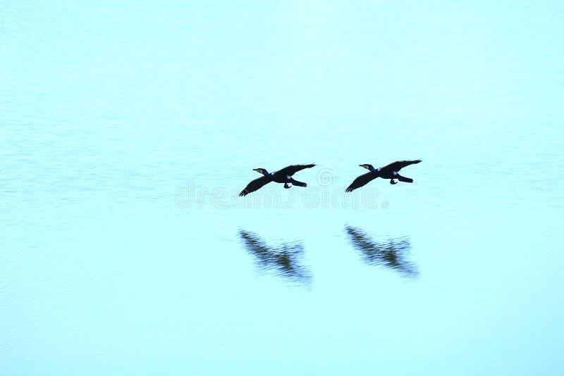 飞行河的鸭子通配 免版税图库摄影
